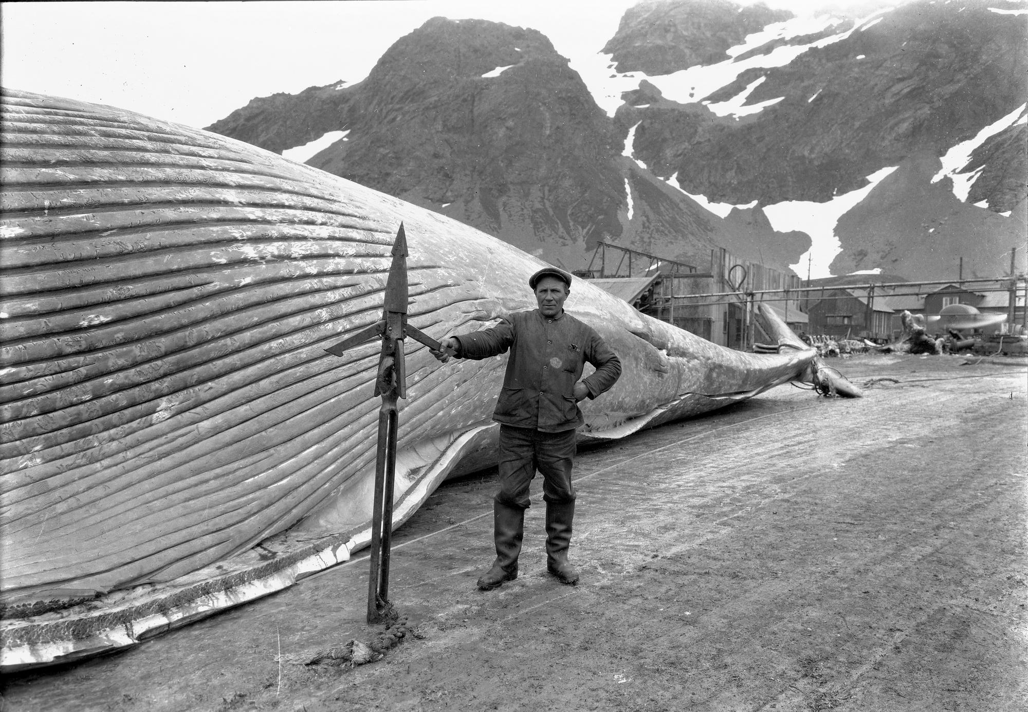 Bilde av arbeid med storfangst i Grytviken. Foto: Hvalfangstmuseets fotoarkiv
