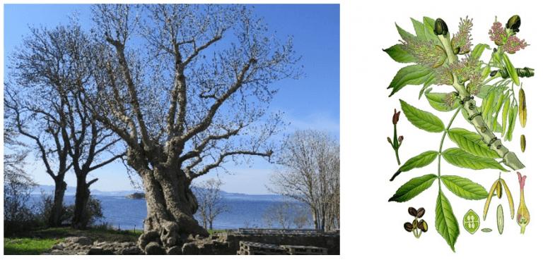 Gamleasken ved Halsnøy kloster er en ekte planterelikt fra klostertiden (foto til venstre). Treet har en omkrets på over sju meter og antas å være godt over 500 år gammelt. Foto: Inger-Marie Aicher Olsrud, Riksantikvaren. Illustrasjon: Ask (Fraxinus excelsior).