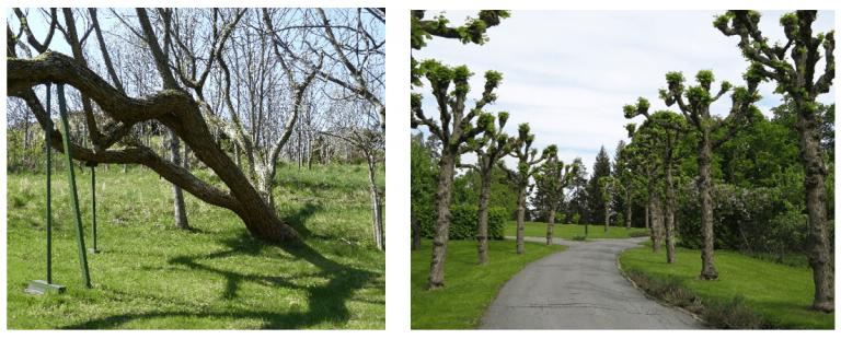 Til venstre: Gamle trær. Til høyre: Trær som er kollet.