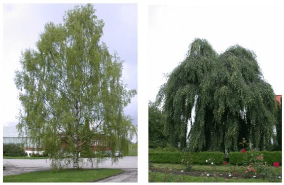 Ornäsbjørk (Betula pendula 'Dalecarlica') og hengebjørk 'Youngii' (Betula pendula 'Youngii') har ulik vekstform selv om de tilhører samme art.
