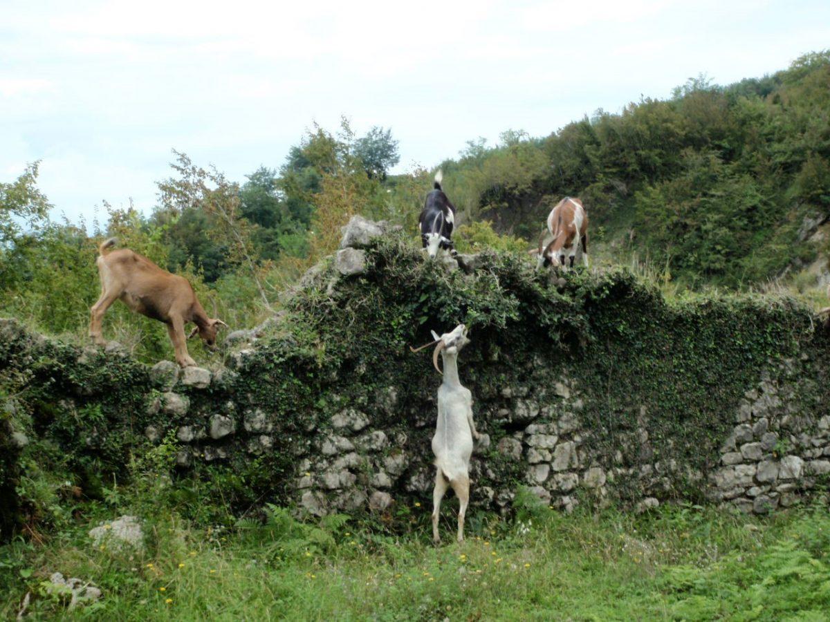 Geiter som oppholder seg rundt og oppå steinmur