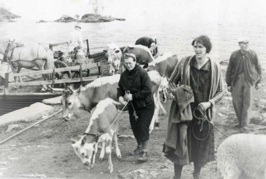 Et historisk bilde fra stølsruta. Bildet viser dyretransport over Slidrefjorden, på vei til stølsvidda. Bilde utlånt av Valdresmusea.