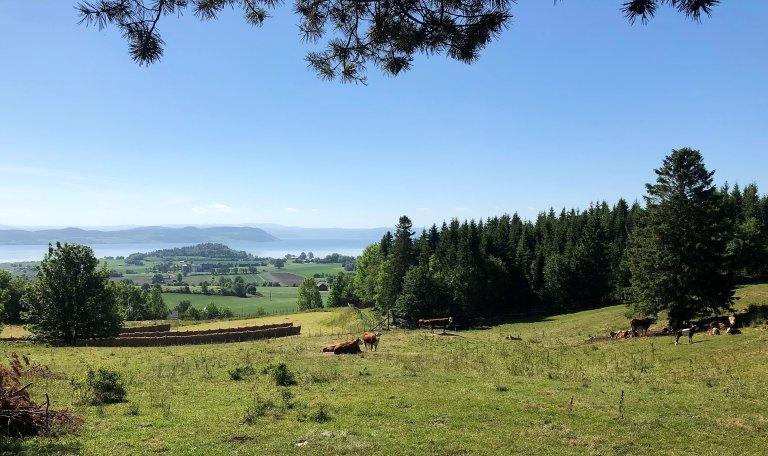 Bilde av beiteområde med kyr. I baggrunnet utsikt mot jordbrukslandskap, noe skog og Trondheimsfjorden.